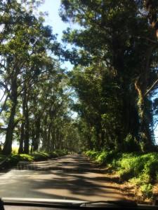 Eucalyptus bridge
